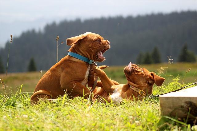 犬 喧嘩 夢