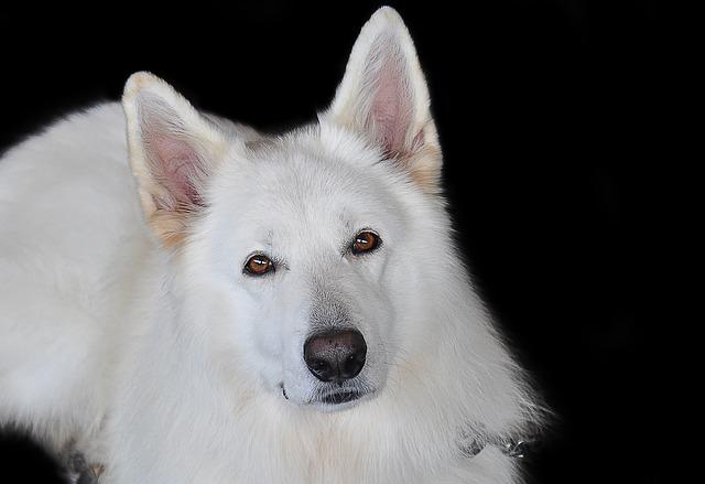 白い犬 夢