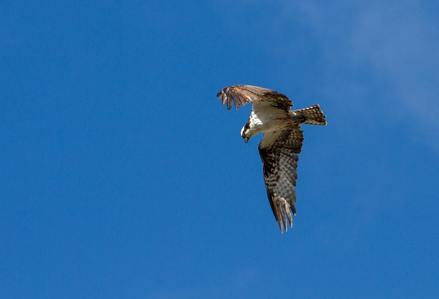 空を飛ぶ鷹の夢