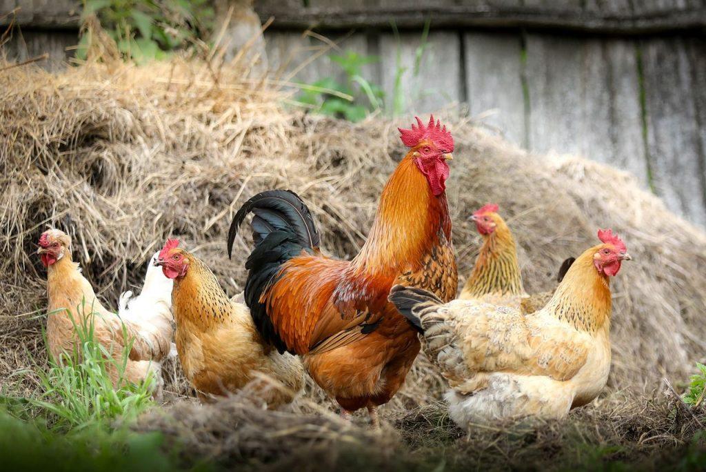 夢占い 鶏