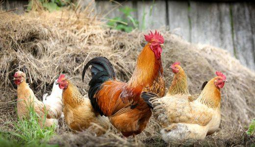 夢占いで鶏の夢の意味【28パターンを解説】