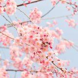 夢占い 桜