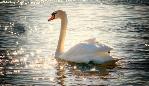夢占いで白鳥の夢の意味【幸運のシンボルです】