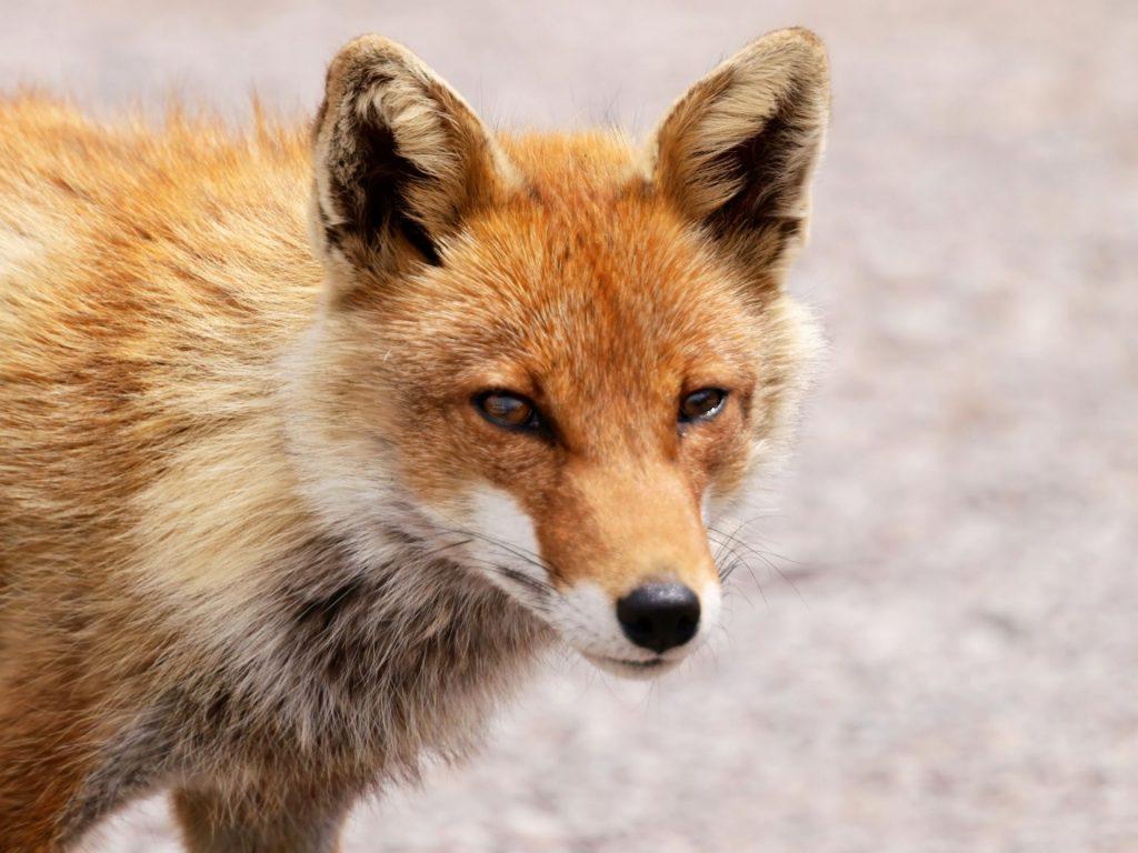 夢 占い 狐