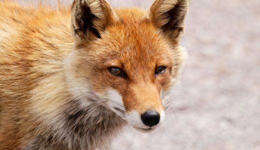 夢占いで狐の夢の意味【24通りの夢を解説】