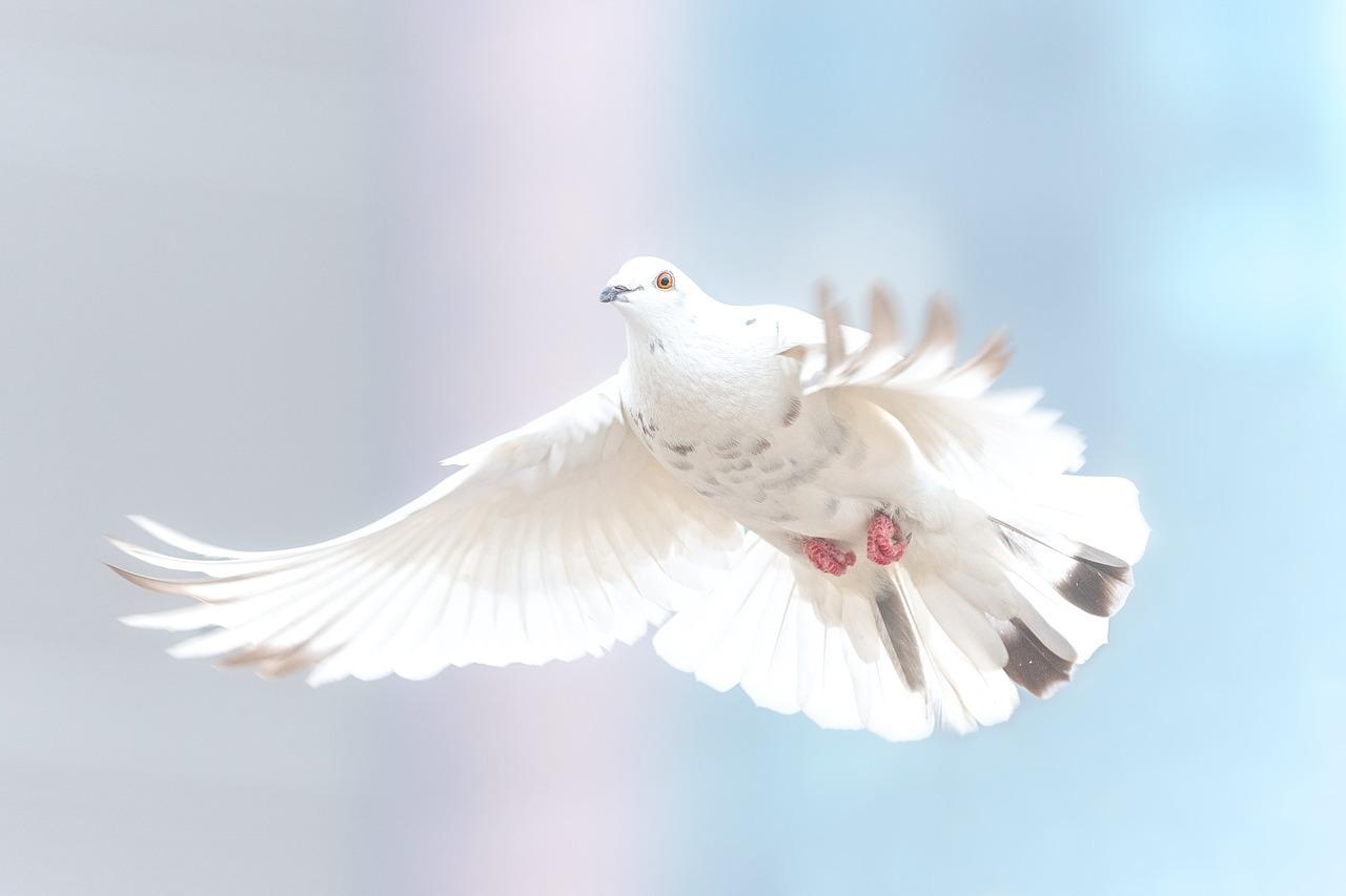 夢占い 鳩