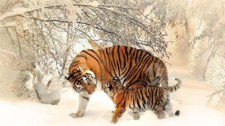 夢占い 虎